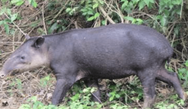 ¡Sorprendente! Captan tapir embarazada en Montes Azules, Chiapas