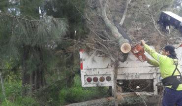 Ayuntamiento de Morelia llama a tomar precauciones por derribo de Eucalipto