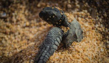 Nacer a contratemperatura: las tortugas requieren ayuda
