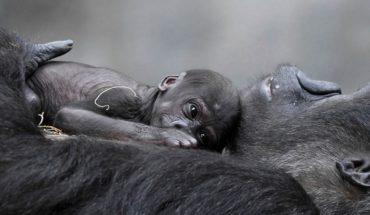 Nació 'Ali': un milagro para los gorilas al borde de la extinción