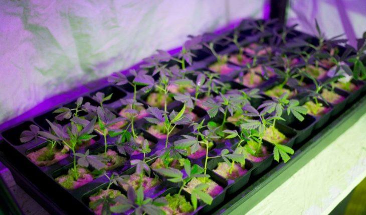 Plantaciones ilegales de marihuana en EEUU apuntan a narcos latinos