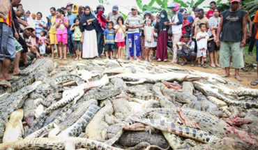 """Por """"venganza"""" multitud mata a 292 cocodrilos en Indonesia"""