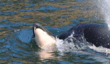 ¡Conmueve! Orca finalmente deja ir el cadáver de su cría