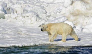 Ahora cazadores podrán matar más osos polares que antes