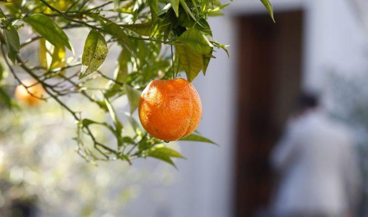 Colgaron naranjas para decorar árboles de La Moneda — Rock&Pop