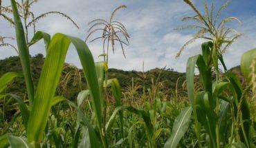 Descubren que maíz mexicano evita uso de fertilizantes