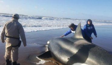 Emotivo rescate de una orca encallada en Punta Mogotes