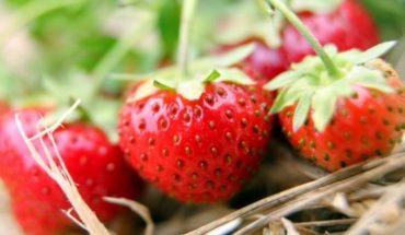 Frutillas: medicina para la inflamación intestinal