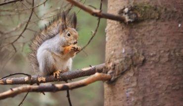 Invasión de ardillas en Buenos Aires: los peligros que trae este animal