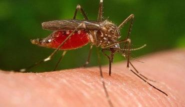 Método Wolbachia para control del dengue, zika y chikungunya
