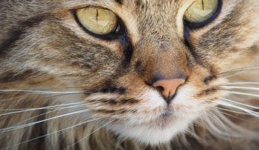 Mes de los gatos: Colegio Médico Veterinario llamó a cuidar a las mascotas para evitar sobrepoblación
