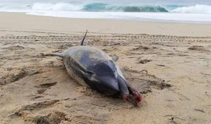 Muerte de delfín, presuntamente asfixiado por pañal en playa de Oaxaca, causa indignación en redes