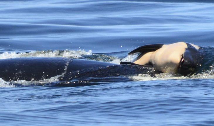 Terminó el dramático duelo de una orca madre que cargó a su cría muerta por 17 días