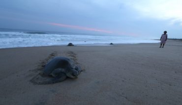 122 turtles sea turtles, most of a species in danger of extinction, die on beaches of Chiapas
