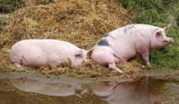 China confirma quinto brote de peste porcina africana