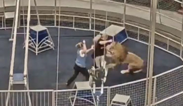 Lion attacks his coach during trial in Russia (Video)