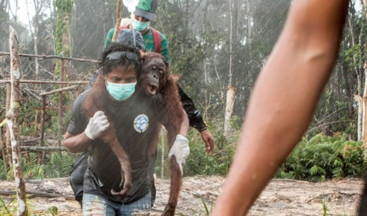 Orangutan world day: without trees to survive