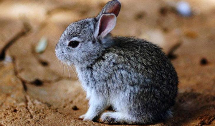 Conejo Teporingo no está extinto, asegura Semarnat