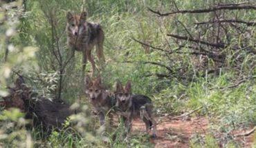 Familia de Lobos Mexicanos regresan a la vida libre