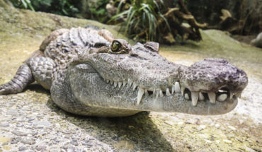 Crocodile devoured a woman and her baby in Uganda