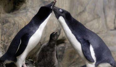 La pareja de pingüinos gay que secuestraron a una cría abandonada