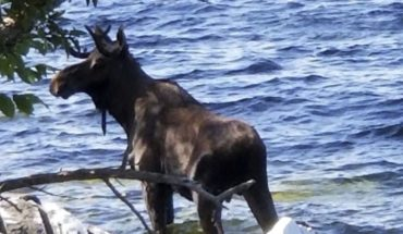 Moose besieged by people drown in a Lake of Vermont