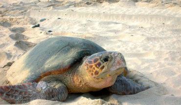 Una pieza de pieza de plástico puede matar a una tortuga