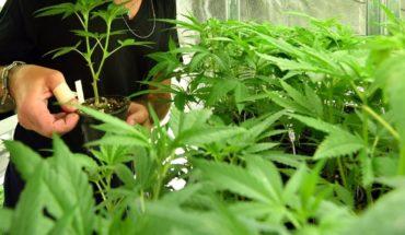 Buscan mariguana recreativa y amapola médica