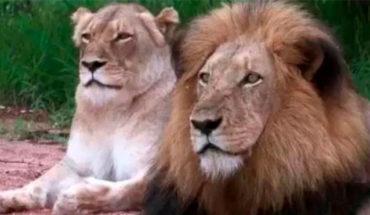 Leona asesina al padre de sus cachorros en zoológico de Indianápolis
