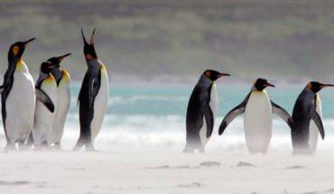 "Pareja de pingüinos machos se vuelven ""padres"" tras incubar huevo"