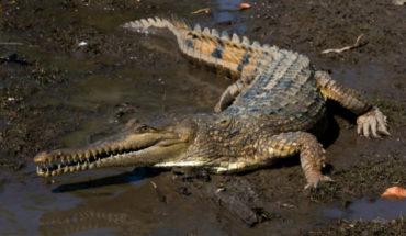 Descubren nueva especie de cocodrilo, pero en peligro de extinción