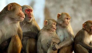 Monos matan a un anciano tras lanzarle ladrillos desde un árbol en la India