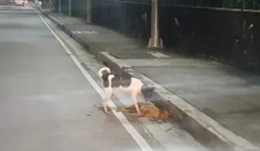 Puppy tries to wake up to his companion that was hit (Video)