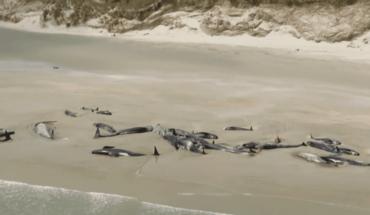 Aparecen 145 ballenas muertas en una playa de Nueva Zelanda