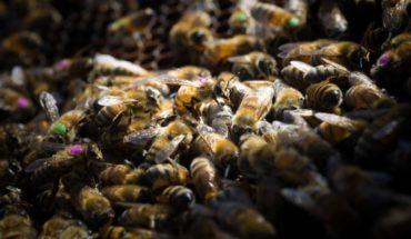 Nuevas investigaciones confirman el efecto negativo del glifosato en las abejas