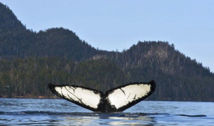 Registran menos avistamientos de ballenas en Hawai