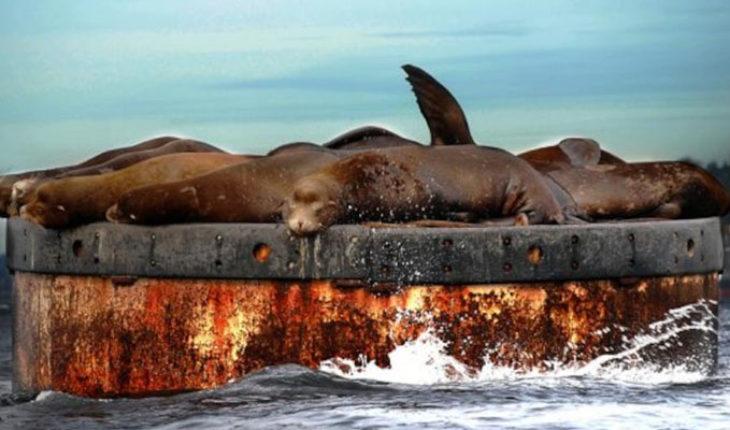 Trece leones marinos han sido baleados en las costas de Estados Unidos