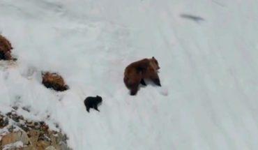 [VIDEO] La verdadera y terrible razón por la que estos osos huían por una peligrosa ladera