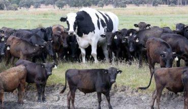 "La historia de la ""vaca gigante"" australiana que se volvió viral"