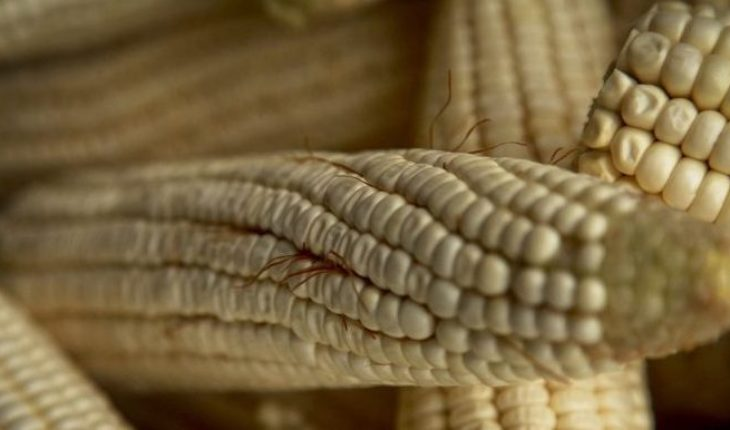 Two EU universities and a company hack Oaxacan corn
