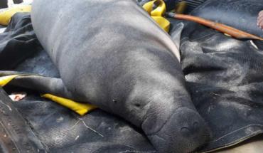 Why killed 48 manatees in Tabasco?