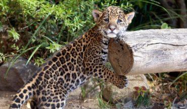 En riesgo 50% de los jaguares del país por el Tren Maya