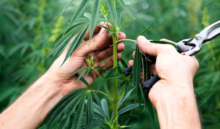 Estados Unidos avanza con la legalización del cultivo industrial de cannabis