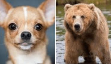Perrito chihuahueño grave al salvar a su dueña de ataque de oso