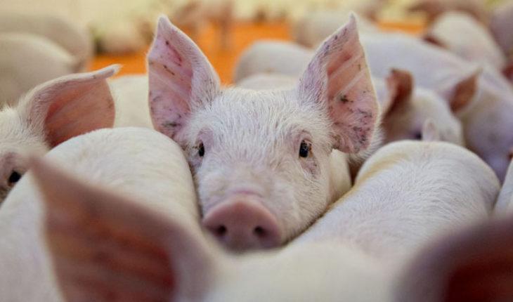 El corazón del cerdo podría ser una alternativa para trasplantarse a humanos