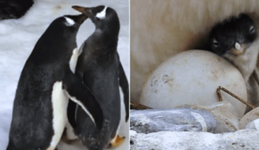 Pareja lesbiana de pingüinas espera su primer cría