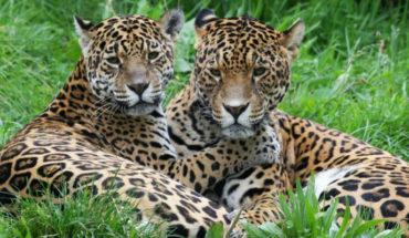 Tren Maya podría poner en riesgo a población de jaguares