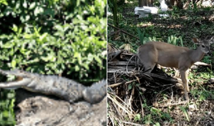 Hallan cocodrilo de pantano y venado deambulando en calles de Campeche