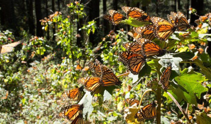 Norteamérica logra meta de conservación de mariposa monarca