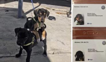 Agencia Volkswagen adopta a dos cachorros y los convierte en empleados